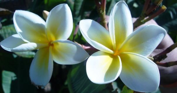 cvety-tiare
